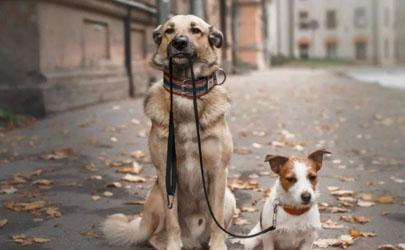 夏天遛狗要给狗狗穿鞋吗