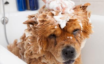 狗狗洗澡后吐了是怎么回事