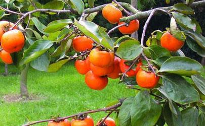 霜降前的柿子为什么不能吃