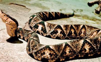 用嘴为同伴吸蛇毒很危险吗