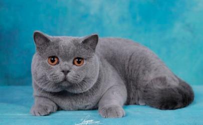 蓝猫多长时间发腮