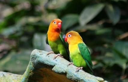 鹦鹉热是什么病毒1