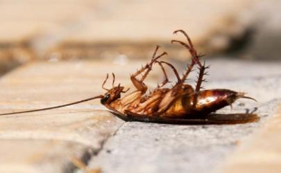 蟑螂会对杀蟑胶饵产生抗药性吗