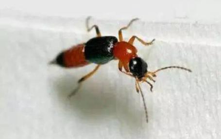 隐翅虫皮炎留下红印越来越黑怎么办(隐翅虫皮炎皮肤脱皮后有红印正常吗)