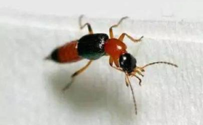 隐翅虫皮炎皮肤脱皮后有红印正常吗