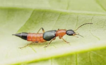 隐翅虫爬过的床单有毒吗