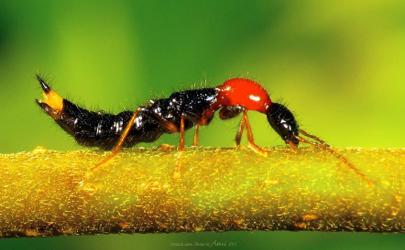 隐翅虫会从下水道爬进室内吗