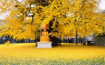 西安千年银杏树门票多少钱 西安千年银杏树怎么去参观