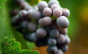 葡萄汁一般能放多久 晚上吃葡萄对身体有影响吗