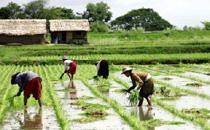 海水稻为什么在青岛播种 海水稻什么时候面市